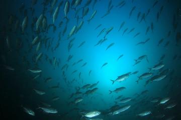 Trevally of Jack fish