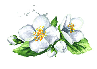 White jasmine flowers. Watercolor hand drawn illustration, isolated on white background