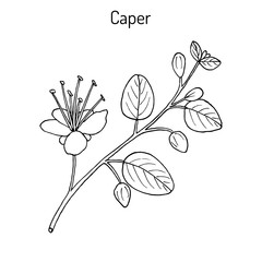 Caper Capparis spinosa with flower and buds