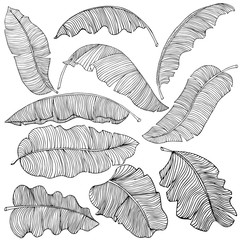 A set of exotic, white banana leaves with a black outlines, isolated on a white background. Decorative image with tropical foliage. Vector illustration.