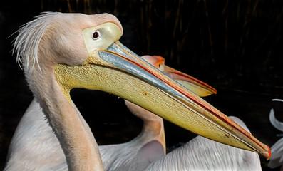 White pelican. Latin name - Pelicanus onocrotalus