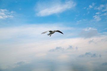 Single seagull flying in a sky as a background - Image