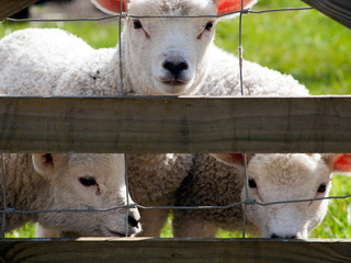 Curious spring lambs watching alertly