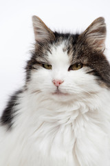 Scruffy elderly long-haired white and grey female tabby cat looking inscrutably at the camera