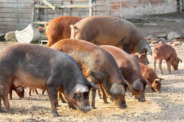 Iberian pigs grazing in a farm