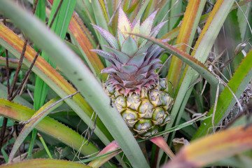 Single fresh pineapple ananas fruit growing on the bush with leaves