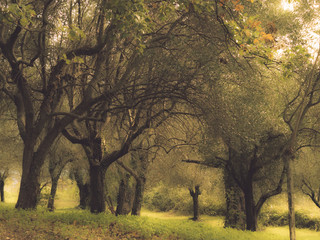 forest of olive trees in autumn, old branches, vintage appearance