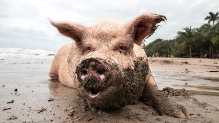 pig in mud at the beach playing and eating Wall mural