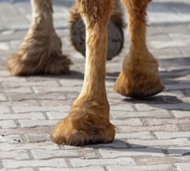 The hooves of a camel walking along the cobblestones