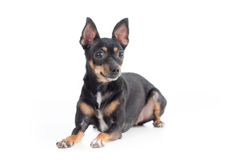 Papier Peint - Lying black toy terrier dog front view looking aside isolated