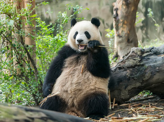Giant panda eating bamboo,Wild Animals.