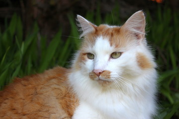 A close up photograph of a handsome ginger and white tom cat, shallow depth of field, natural greenery garden background