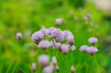 purple chives flowers .  wild Chives