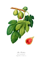 Figs vintage watercolour drawing art.