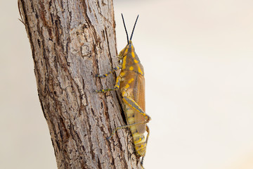 Brown grasshopper in nature, Migratory Bird Locust or Brown Spotted Locust (Cyrtacanthacris tatarica) - Image
