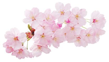 Close up sakura or cherry blossom isolated on white background. Japanese Spring Flower Sakura isolated. Pink Cherry Flower with background cut out. No tree only flowers.