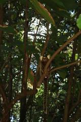 sagui on tree