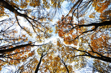 Foto op Canvas Aan het plafond tops of autumn trees with yellow leaves against the sky. bottom view