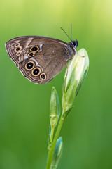 the woodland brown - Lopinga achine