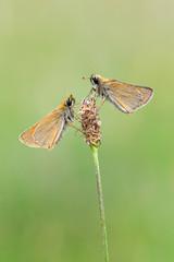 Skipper - Thymelicus sylvestris