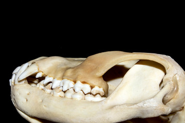 Close Up Abstract Animal Deer Skull on Black Background