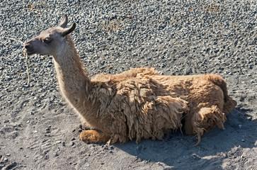 Guanaco. Latin name - Lama guanicoe