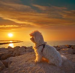 Wall Mural - Maltichon pet dog looking beach sunset