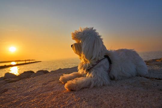 Maltichon pet dog looking beach sunset