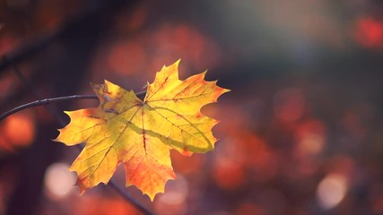 Wall Mural - Autumn maple leaf. Yellow maple leaf over blurred autumn background. Fall background with colorful leaves. Slow motion. 4K UHD video footage 3840X2160
