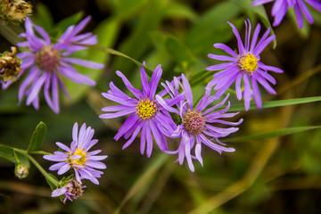 European Michaelmas-daisy in the meadow