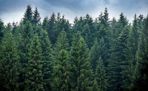a spruce forest