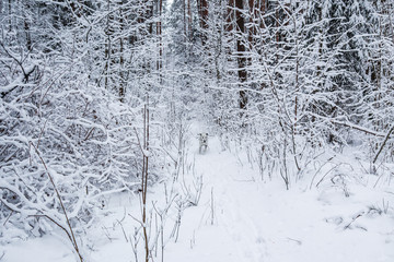 Dalmatian runs in beautiful winter forest with a lot of thin twigs covered in snow.