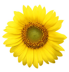 Sun flower, white background