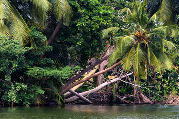 Single palm tree and mangroves on the bank of tropical river in Sri Lanka