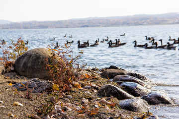 geese on a lake near the shore