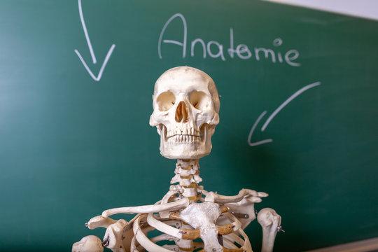 a skeleton model stands at a blackboard