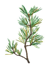 Watercolor Pine Tree Branch isolated on white