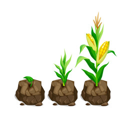 vector illustration of realistic cute corn plant grows in a piece of land 3 stages of growth