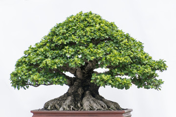 Papiers peints Bonsai bonsai tree isolated on white
