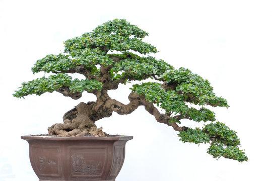 Bonsai tree of Hokiantea (Carmona Retusa) in pot isolated on white