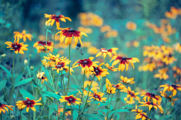 Vintage floral background. Black-eyed Susan Flowers in the garden