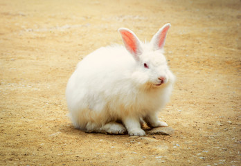 White rabbit in farm / rabbit sitting on ground / Animal picture vintage style