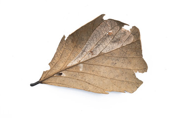 Dry leaf closeup isolated on the white background