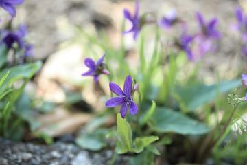 可愛らしい菫の花