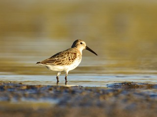 Dunlin (Calidris alpina) in winter plumage on lake shore