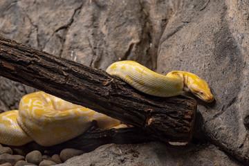 Albino specimen of Burmese python snake from south east asia