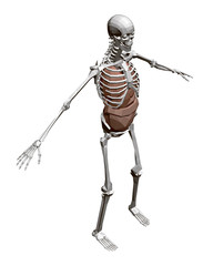 Human skeleton with organs