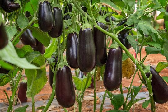 Eggplant F1 Hybrid growing in a plastic tunnel