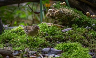 Finch Bird autumn Europe