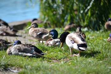 ducks on the lawn near the pond